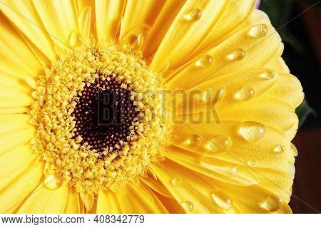 Yellow Gerbera Flower. Beautiful Gerbera Blooms. Selective Focus.