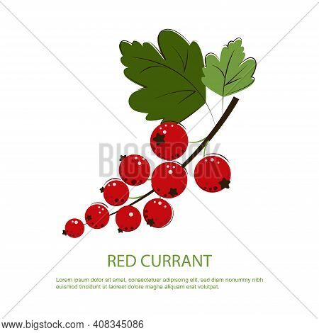 Red Currant Berries. Bunch Of Ripe Juicy Red Currant With Green Leafs. Berry For Jam.
