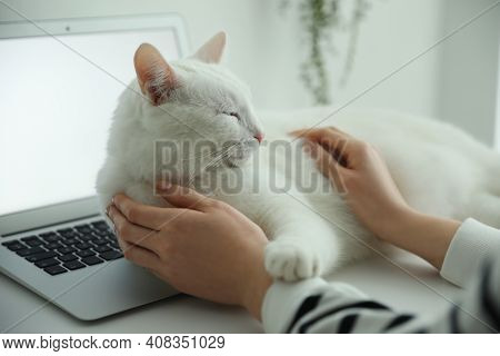 Adorable White Cat Lying On Laptop And Distracting Owner From Work, Closeup