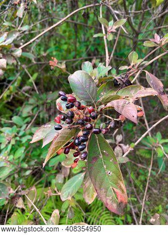 Shiny Blueberry - Vaccinium Myrsinites In Florida Fern Forest