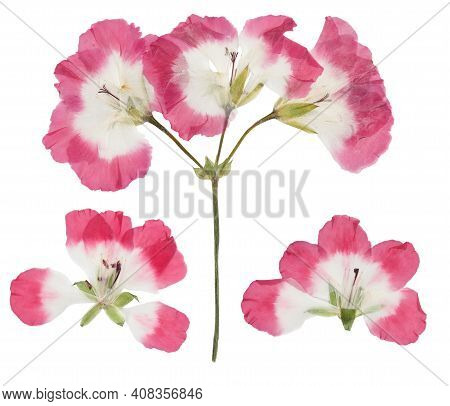 Pressed And Dried Pink Delicate Transparent Flowers Geranium (pelargonium), Isolated On White Backgr