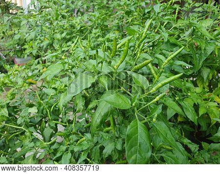 Green Chili Pepper Plant, Bird's Eye Chili Hangs On Tree, Home Garden Vegetable Organic Farm Concept