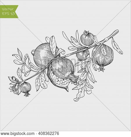 Pomegranate Fruit, Berry.vector Vintage Fruits. Organic Nutrition Healthy Food. Engraved Hand Drawn