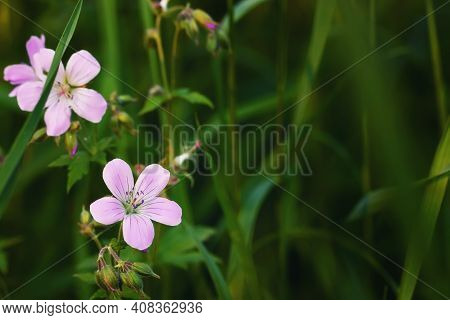 Flowers Of Purple Geranium Pretense Knows As Meadow Cranesbill In The Meadow