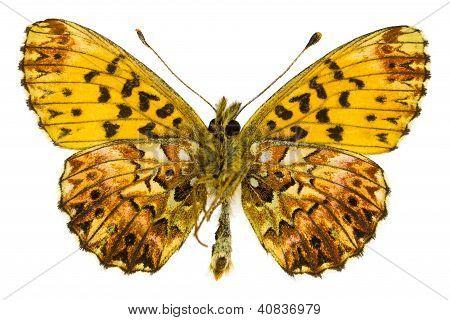Boloria (clossiana) Titania (espejitos de titania)