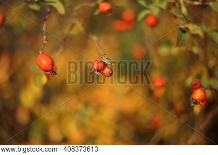 Beautiful Rosehip Berries On Bare Green Twigs. Red Ripe Berries On Curved Twigs Without Leaves. Blur