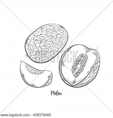 Melon Fruit Sketch Vector Illustration. Hand Drawn Cantaloupe Isolated On White Background.