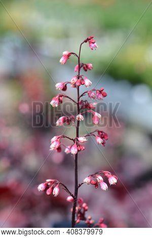 Hybrid Coral Bells Flowers - Latin Name - Heuchera Hybrids