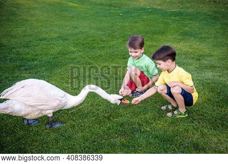 Care And Safety Of Animals Concept. Two Little Boy Kid Feeding Playing With Beautiful Swan. Children