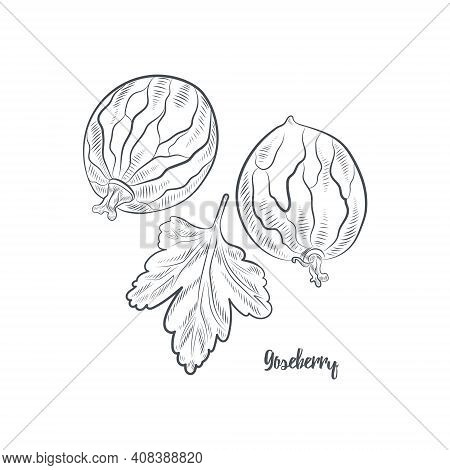 Gooseberry Sketch Vector Illustration.hand Drawn Gooseberry Isolated On White Background.