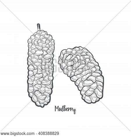 Mulberry Sketch Vector Illustration. Hand Drawn Mulberry Isolated On White Background.