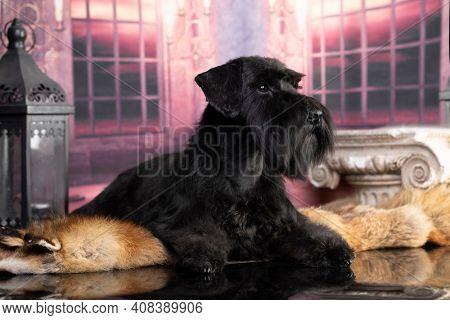 black miniature schnauzer with long hair on the beard, portrait of a black dog