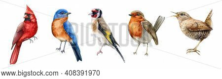 Bird Set Watercolor Illustration. Red Cardinal, Eastern Bluebird, Goldfinch, Robin, Wren Close Up Im