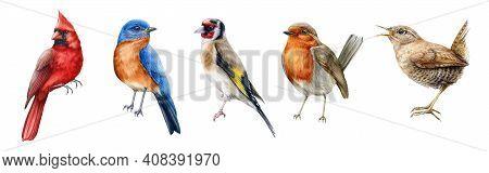 Bird Set Watercolor Illustration. Red Cardinal, Eastern Bluebird, Goldfinch, Robin, Wren Close Up Im