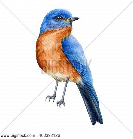 Bluebird Watercolor Illustration. Tiny Bird Wih Blue Feathers. Hand Drawn Realistic North America Av