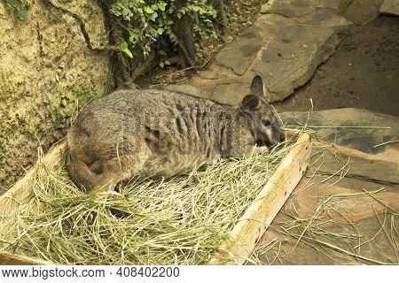 Tammar Wallaby Kangaroo Sleeping In Wooden Box With Herbs. No People
