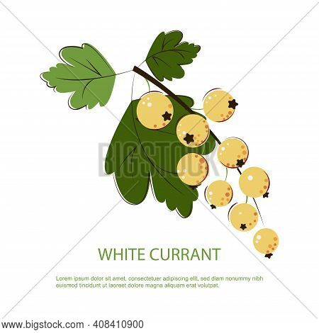White Currant Berries. Bunch Of Ripe Juicy White Currant With Green Leafs. Berry For Jam.