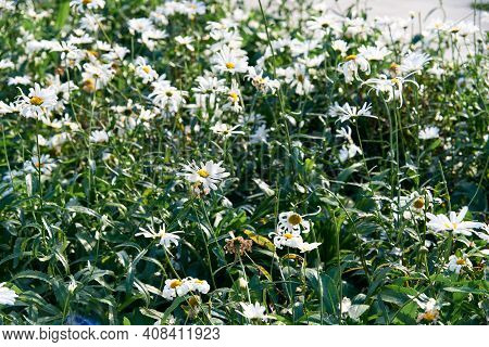White Beautiful Daisies On A Field In Green Grass In Summer. Oxeye Daisy, Leucanthemum Vulgare, Dais