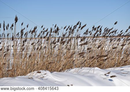 Reeds By A Snow Covered Coast In Winter Season