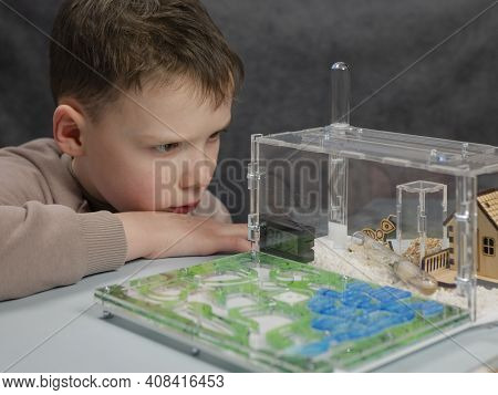 Boy Is Poring At Harvester Ants At Ant Farm. Observation Of Ants\' Behaviors. Domestic Insects