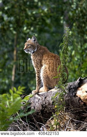 Siberian Lynx, Lynx Lynx Wrangeli, Adult Sitting On Tree Trunk