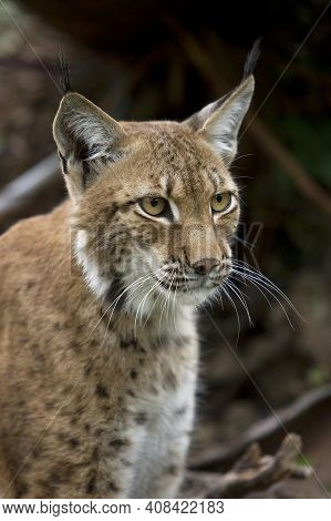 Siberian Lynx, Lynx Lynx Wrangeli, Portrait Of Adult