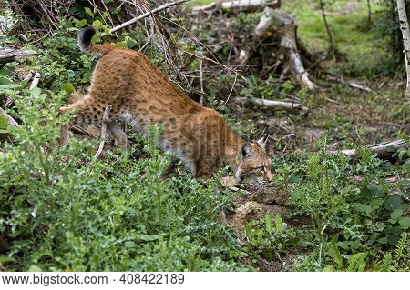 Siberian Lynx, Lynx Lynx Wrangeli, Adult Walking