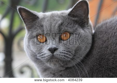 Gray cat with orange eyes British blue shorthair poster