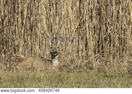 A Young Deer, Very Well Camouflaged At The Edge Of A Forest At A Cold Day In Winter In Germany.