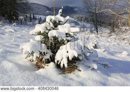 small pine tree under snow on meadow in mountains