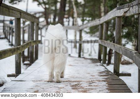 Fluffy Samoyed White Dog Is Running On Snow Path Road. Dog Back