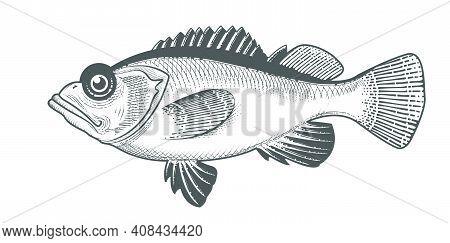 Rosefish Sketch, Hand Drawn Ocean Perch Or Widow Rock Cod, Salmon Grouper Seafood Menu, Fish In Engr