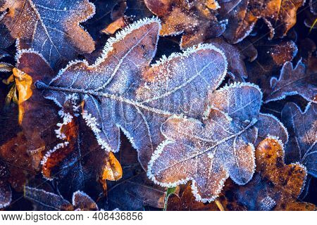 nice autumn oak leafage in hoarfrost on ground in forest