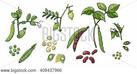 Collection Of Beans. Group Of Pea, Chickpea, Bean And Lentil Plants And Seeds. Vector Illustration I
