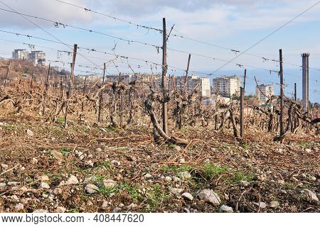 Vines Cut For The Winter In The Vineyard Against The Backdrop Of Residential Areas