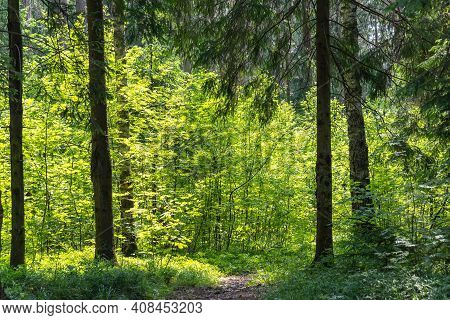 Beautiful Panorama Of Green Forest Landscape In Spring Time, Sun Light Shining Through Woods. Myster