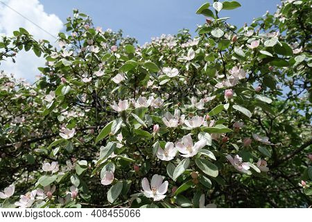 Plenty Of Pinkish White Flowers In The Leafage Of Quince Tree Against Blue Sky In May