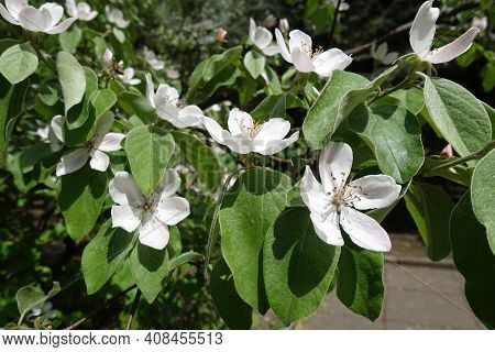 Pure White Flowers In The Leafage Of Quince Tree In May