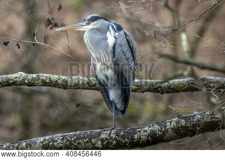 A Common Grey Heron At A Little Pond Called Jacobiweiher Next To Frankfurt In Hesse, Germany At A Co