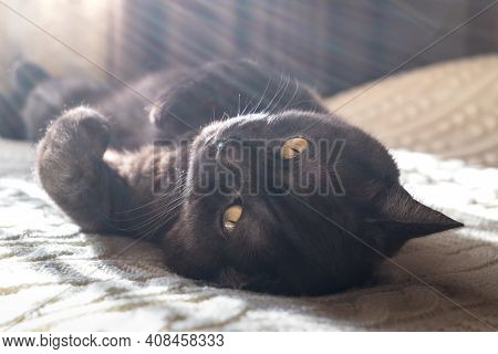 Funny Cat Lays On His Back On Bed In Morning Sun Lights