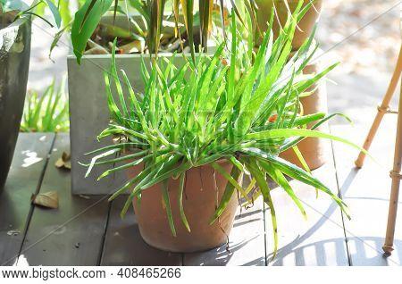 Aloe, Aloe Barbadensis  Mill Or Aloe Vera Plant In The Garden