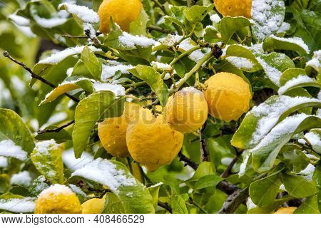 Snow On A Lemon Tree (citrus Limon)