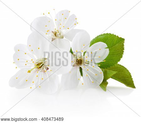 Spring Flowers Of Cherry Fruit Trees Isolated On A White Background