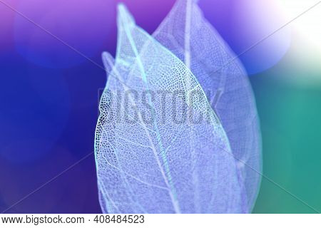 Skeleton Blue Leaves On Blurred Background.macro Skeletonized Leaf.group Of Skeleton Leaves.macro St