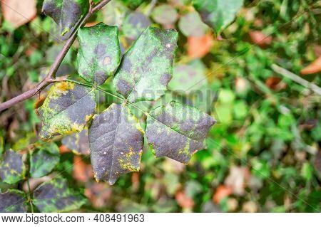 Fungal Diseases Of Rose Leaves - Gray Rot, Rust, Powdery Mildew, Spots. Diplocarpon Rose Spot.