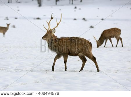 wild deer walk on winter meadow in forest