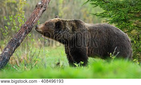 Large Brown Bear Sniffing A Tree And Marking Its Territory In Spring Forest.