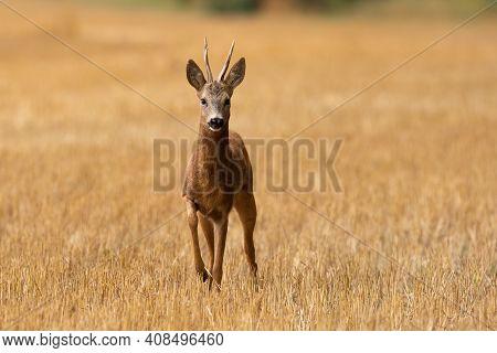 Roe Deer Approaching On Stubble Field In Summertime Nature