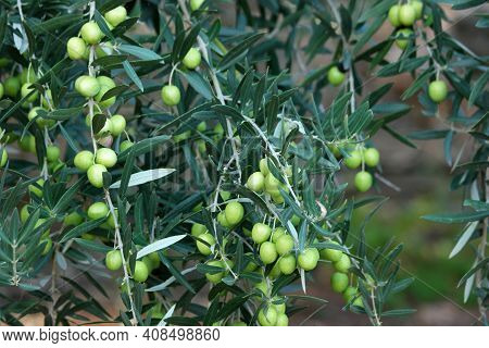 Detail Of Olive Tree Branch. Olive Branch With Leaves And Olives Close Up. Mediterranean Plant, Flor