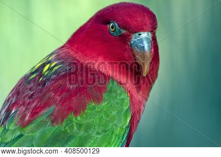 The Chattering Lory Is A Colorful Bird